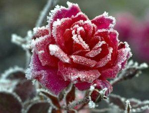 rozi_zima