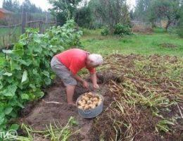 Миниатюра к статье В Тверской области собирают тонну картофеля с сотки, несмотря на засуху