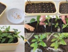 Миниатюра к статье Выращивание рассады перца в домашних условиях