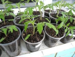 Миниатюра к статье Как вырастить рассаду томатов первый раз