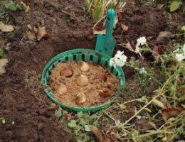 Миниатюра к статье Посадка тюльпанов осенью в грунт