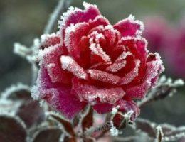 Миниатюра к статье Как правильно укрывать розы